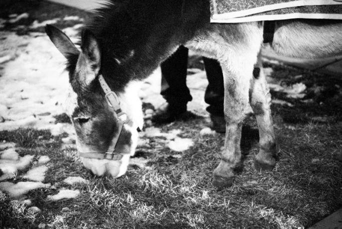 The donkey has a quick snack